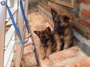 coming soon: ferocious guard dogs!